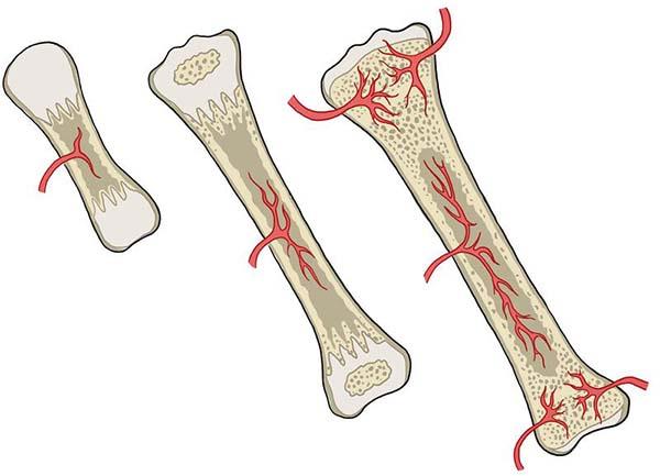 sự dài ra của xương